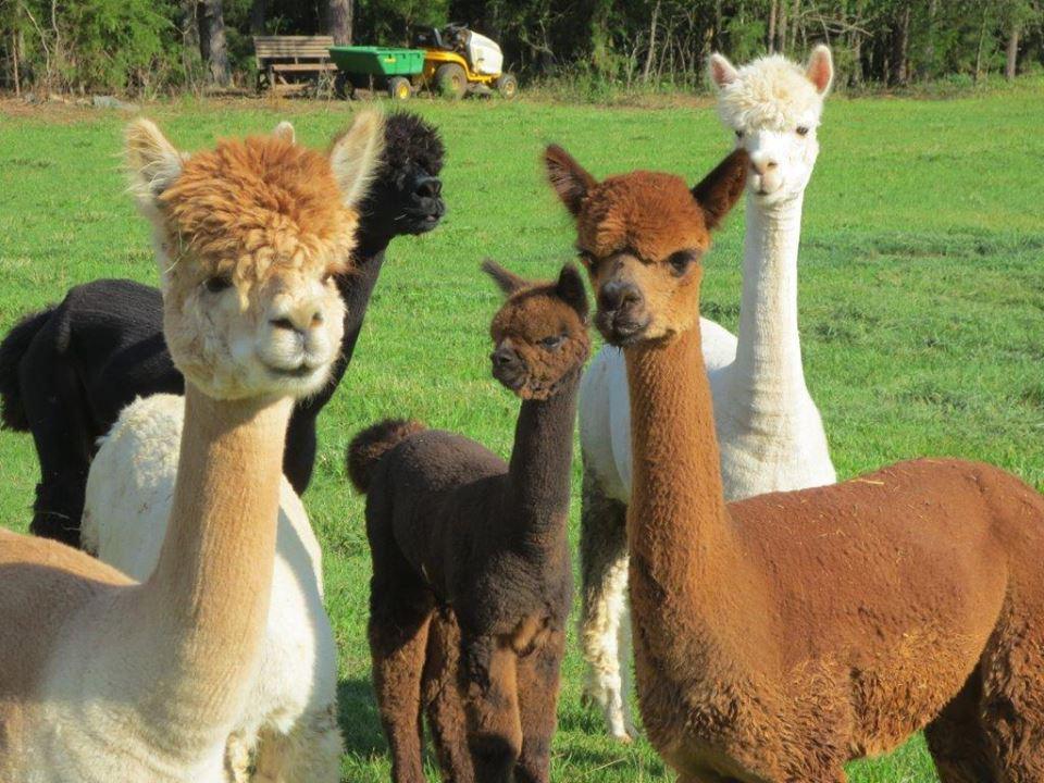bunch of alpacas
