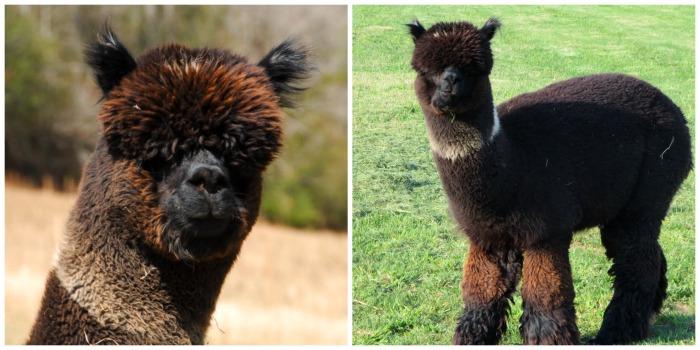 Your next alpaca's father!