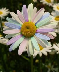 painted-daisy-brian-mollenkopf